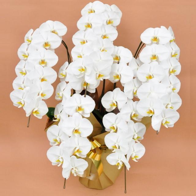 大輪 胡蝶蘭 5本立ち 白 Sクラス ラッピング16種類