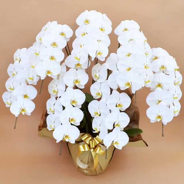 大輪 胡蝶蘭 7本立ち 白 Vクラス ラッピング16種類