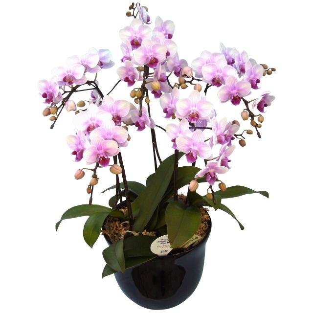 胡蝶蘭 5本立ち ランラン 淡いピンク色 ミディ 7号 陶器鉢