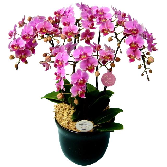 胡蝶蘭 5本立ち リンリン 濃いピンク色 ミディ 7号 陶器鉢
