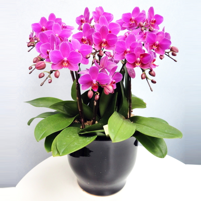 胡蝶蘭 7本立ち 濃いピンク色 ミディ 8号 陶器鉢