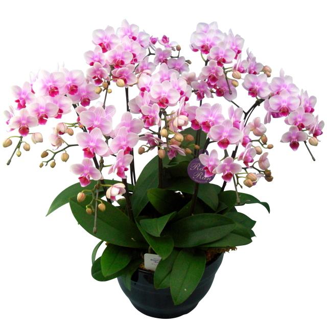 胡蝶蘭 7本立ち ランラン 淡いピンク色 ミディ 8号 陶器鉢