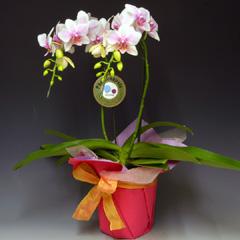 お祝い,御祝い,ミディ,胡蝶蘭,プレゼント,ギフト,贈り物,昇進,就任祝い,開店,オープン,移転,楽屋見舞い,即日発送,送料無料,花,フラワー