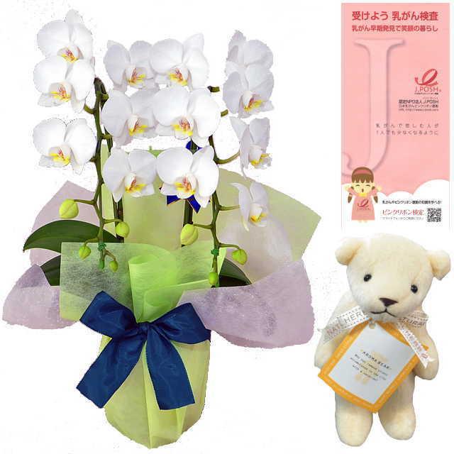 ピンクリボン 運動 応援 ミディ胡蝶蘭 2本立 白色 アロマベアー ホワイト クマさん セット