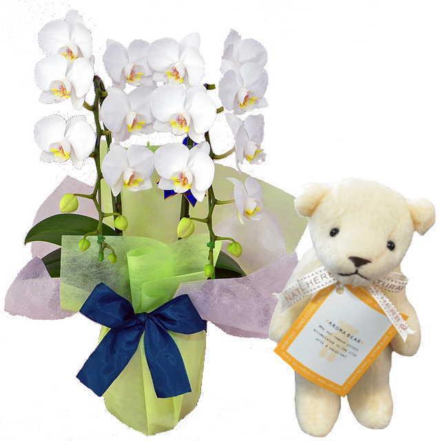 ミディ胡蝶蘭 2本立 白色 アロマベアー ホワイト クマさん セット