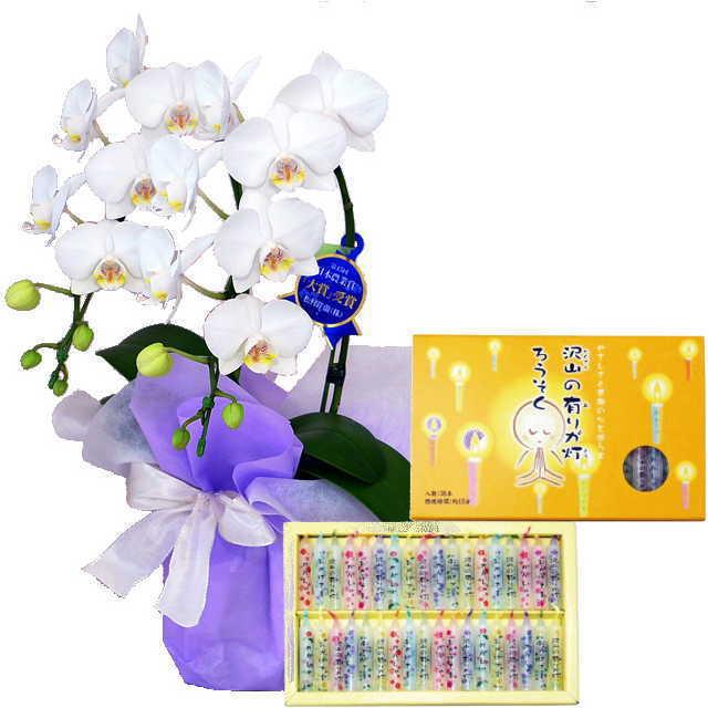 ミディ胡蝶蘭 線香セット 2本立 白色 丸叶むらた 沢山の有りが灯 ろうそく