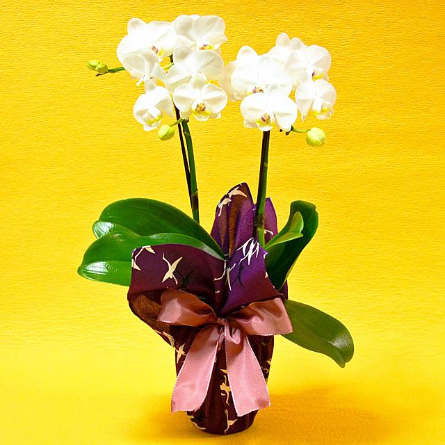 胡蝶蘭 2本立ち 白色 ミディ 風呂敷包み 群鶴 ぐんかく 古希 喜寿
