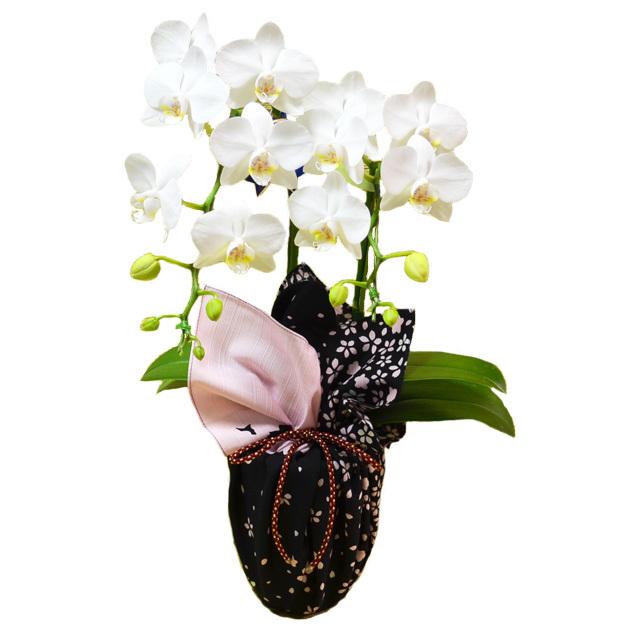 お祝い 開店祝い 鉢花 特選ミディ胡蝶蘭 2本立ち 白色 風呂敷包み 花嵐