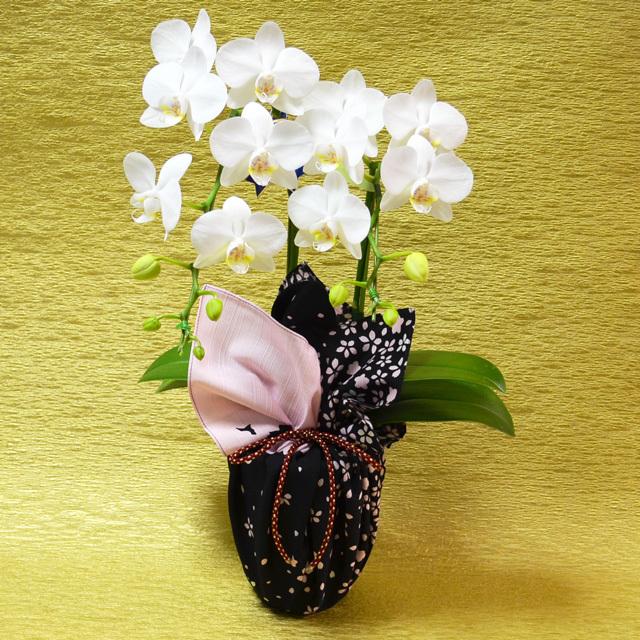 お祝い 開店祝い 鉢花 誕生日 胡蝶蘭 風呂敷 包み ミディ アマビ アマビリス 花嵐