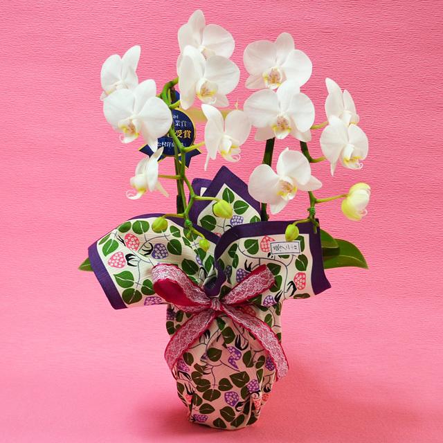 お祝い 開店祝い 鉢花 特選ミディ胡蝶蘭 2本立ち 白色 高級風呂敷包み 竹久夢二 いちご ムラサキ