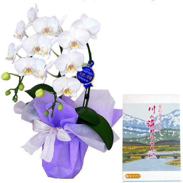 ミディ胡蝶蘭 線香セット 2本立 白色 丸叶むらた 川の流れのように 雪割草の香り 約140g 煙少タイプ