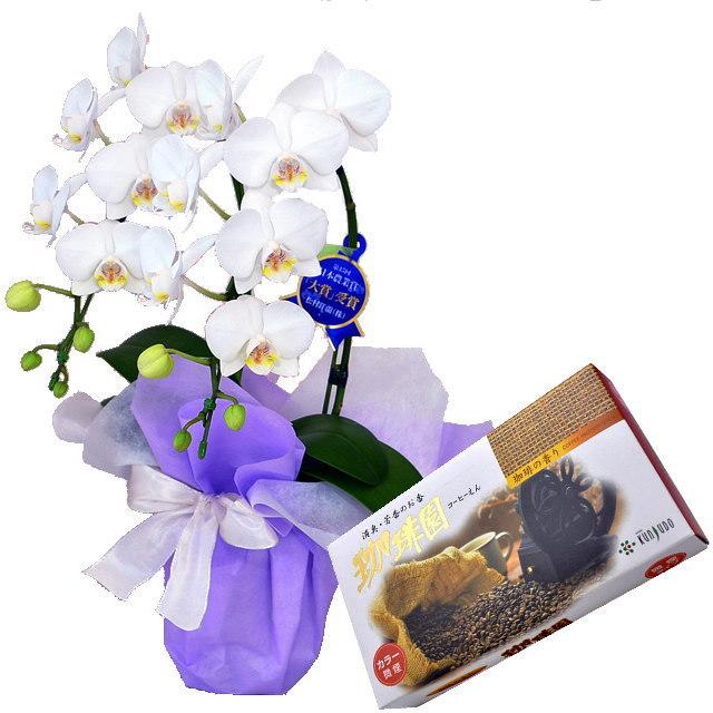 ミディ胡蝶蘭 白色 2本立ち 薫寿堂のお線香 珈琲園 微煙タイプ #580 珈琲の香り セット