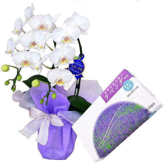ミディ胡蝶蘭 白色 2本立ち 薫寿堂のお線香 花かおりラベンダー 微煙タイプ #622 セット