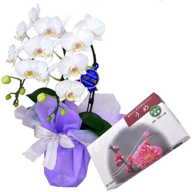 ミディ胡蝶蘭 白色 2本立ち 薫寿堂のお線香 花かおり梅 微煙タイプ #636 セット