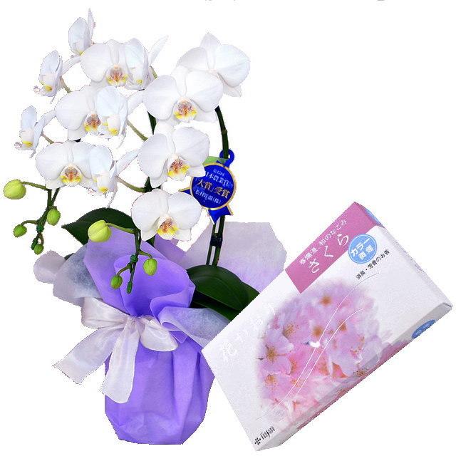 ミディ胡蝶蘭 白色 2本立ち 薫寿堂のお線香 花かおり桜 微煙タイプ #638 セット
