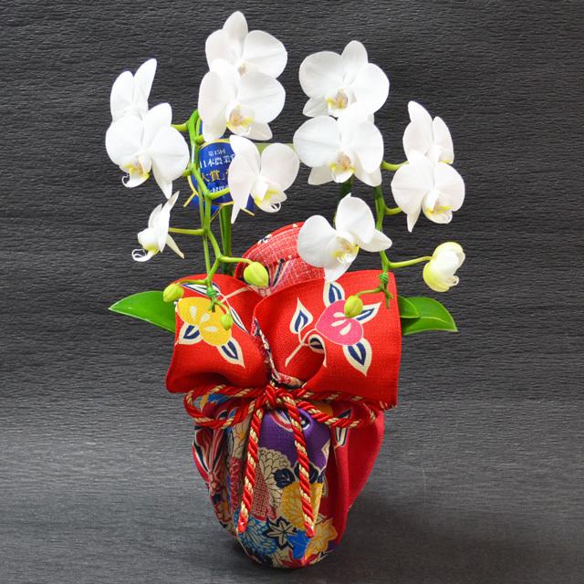 お祝い 開店祝い 鉢花 特選ミディ胡蝶蘭 2本立ち 白色 高級風呂敷包み 花くす玉 不老長寿 魔除け 邪気払い