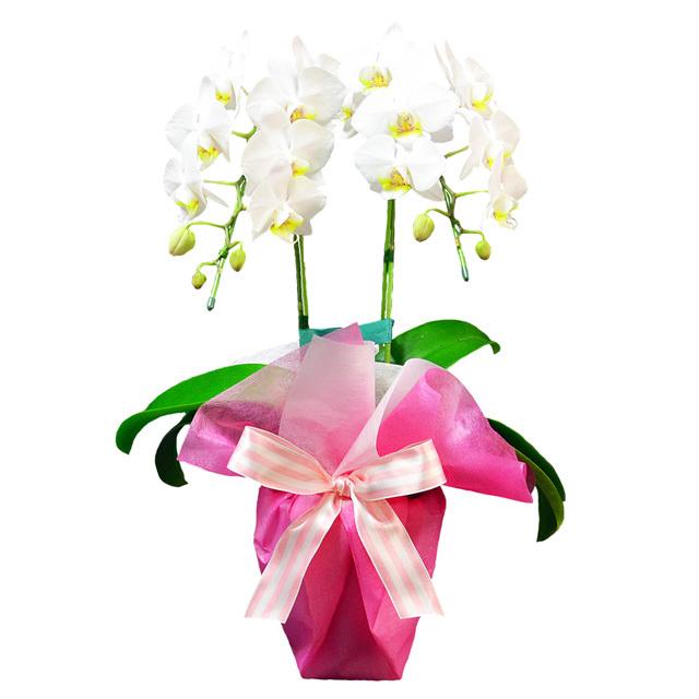 母の日 ミディ胡蝶蘭 2本立ち 白色 ピンク系ラッピング