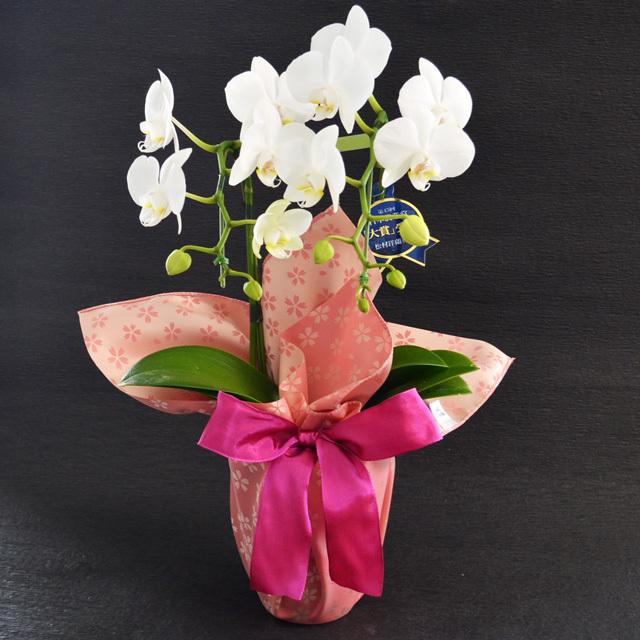 お祝い 開店祝い 鉢花 ミディ胡蝶蘭 2本立ち 白色 風呂敷包み 桜
