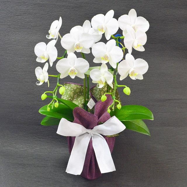 特選ミディ胡蝶蘭 2本立ち 白 高級風呂敷包み 鮫小紋と桜柄の両面風呂敷 紫緑 リバーシブル