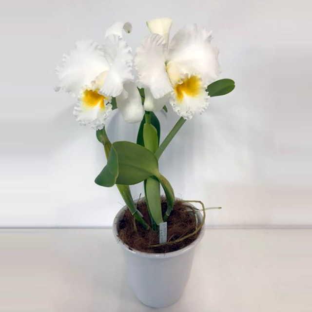 カトレア ラスジー オーキッドライブラリー 大輪 2輪 ホワイト系 白色 C Ruth Gee Orchid Library