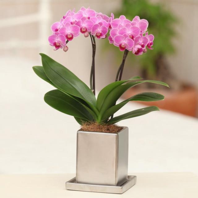 胡蝶蘭 2本立ち ピンク系 クローム鉢 4号鉢