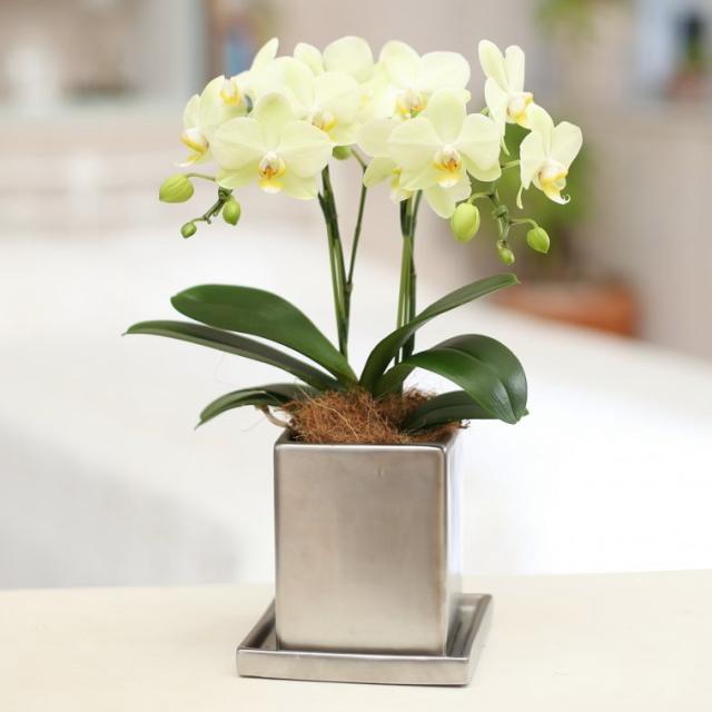 胡蝶蘭 2本立ち イエロー系 クローム鉢 4号鉢