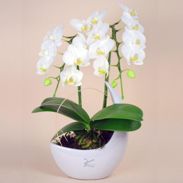 ミディ,胡蝶蘭,2本立ち,白,三日月,鉢,ホワイト,ペーパームーン