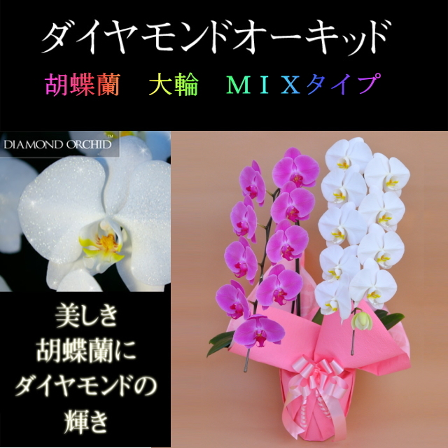 胡蝶蘭 2本立ち ミックス 白色 ピンク色 寄せ ダイヤモンド オーキッド 大輪 Vc