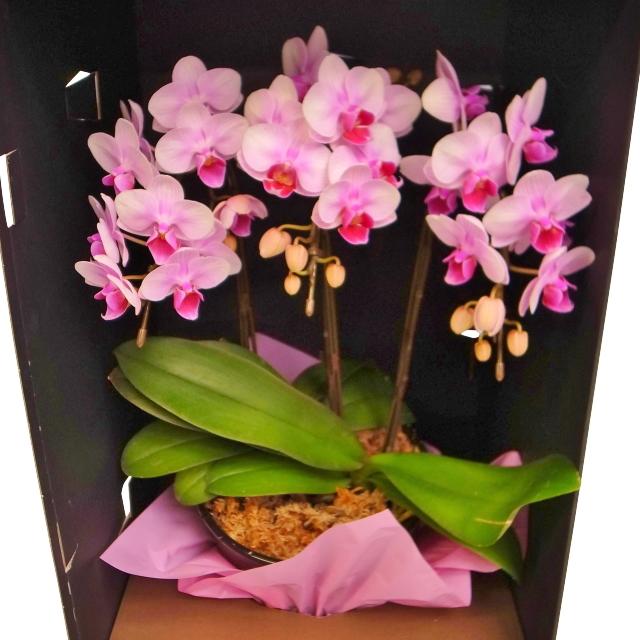 胡蝶蘭 3本立ち ピンク色 ドレスBOX ミディ