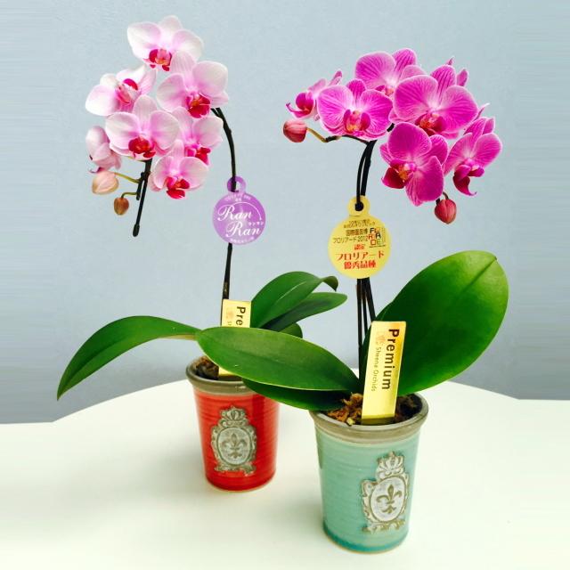 胡蝶蘭 1本立ち ピンク ライトピンク エンブレム鉢 3号鉢植え ミニ