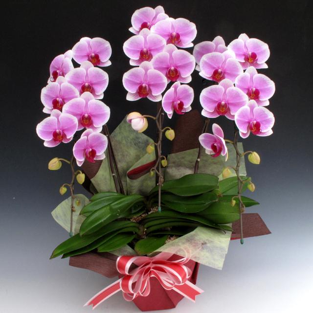 胡蝶蘭 3本立ち ピンク スプリングソング 翌日配達
