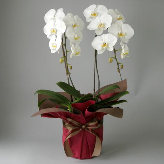 【あす着】 胡蝶蘭 2本立ち 白