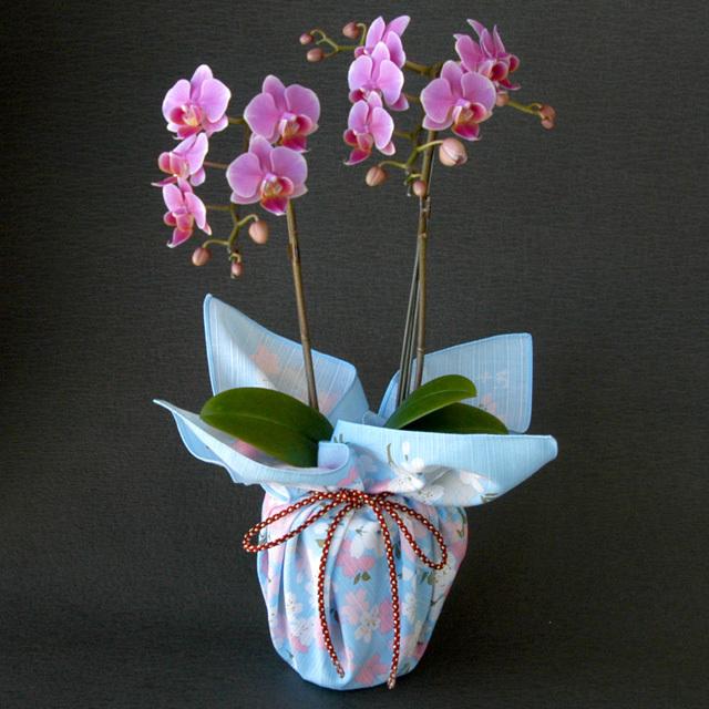 特選 胡蝶蘭 2本立ち ピンク 宇野千代「桜の園」