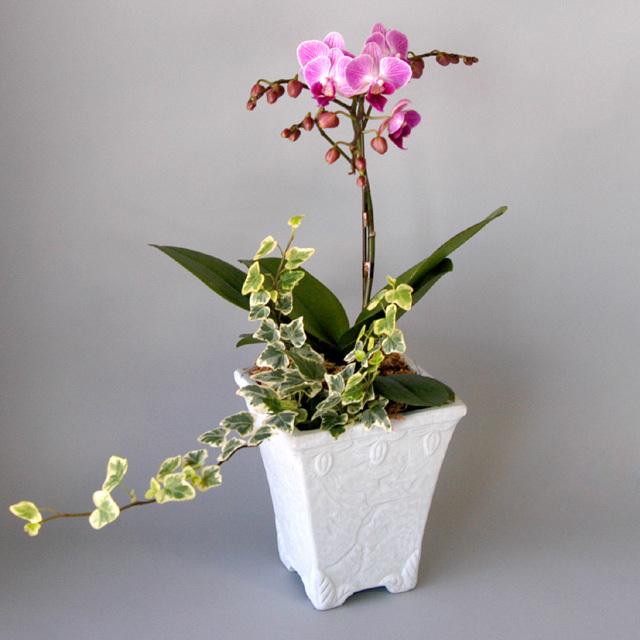ミディ胡蝶蘭&観葉植物1本立ち ピンク [旭]
