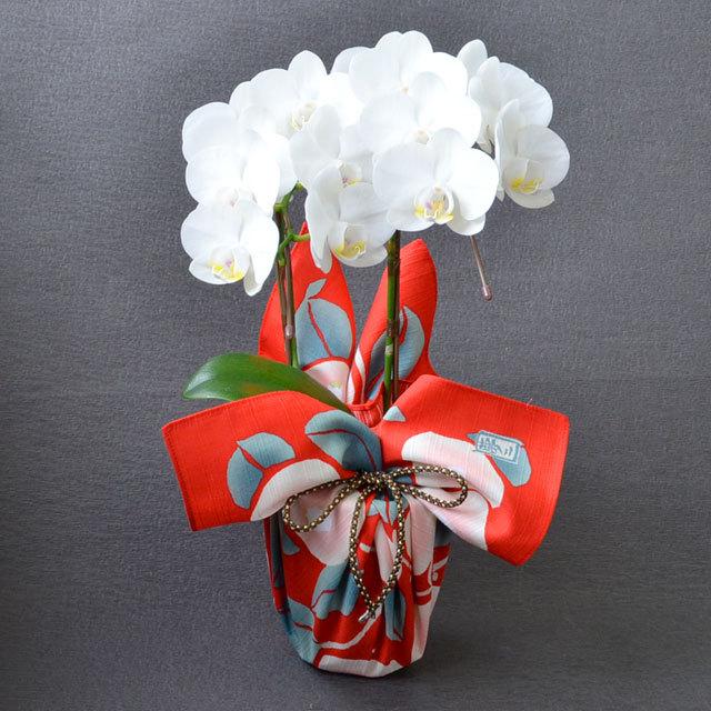 特選 ミディ胡蝶蘭 2本立ち 白色 アマビリス 4号陶器鉢 ブランド風呂敷ラッピング 竹久夢二「つばき」