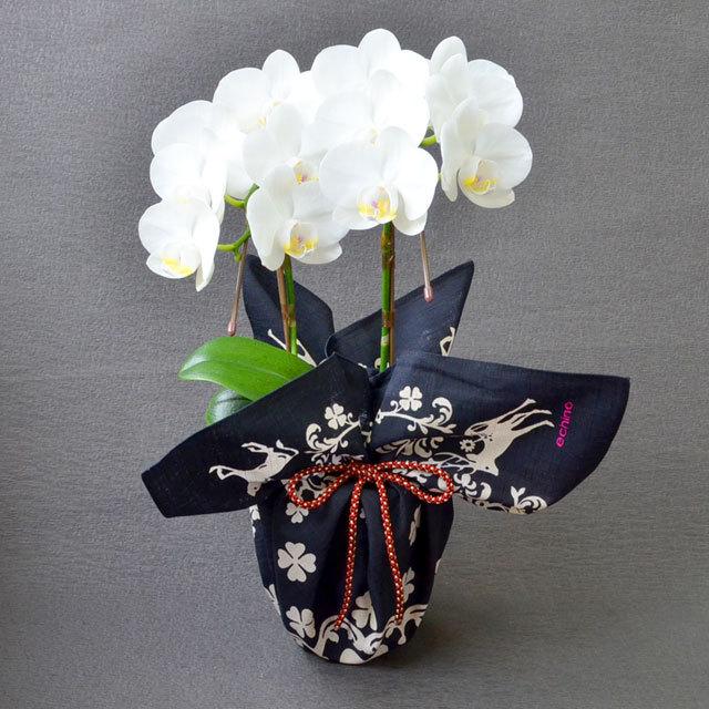 特選 ミディ胡蝶蘭 2本立ち 白色 アマビリス 4号陶器鉢 ブランド風呂敷ラッピング  echino「クローバー」