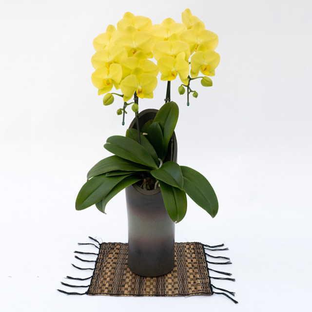 胡蝶蘭 かぐや ゴールデンライフ 2本立ち 黄色 ミディ 中大輪系 森田洋蘭園