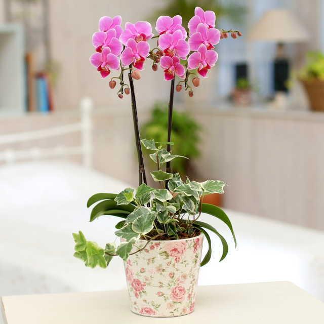 胡蝶蘭 2本立ち ピンク色 ミディ 花柄鉢 観葉寄せ