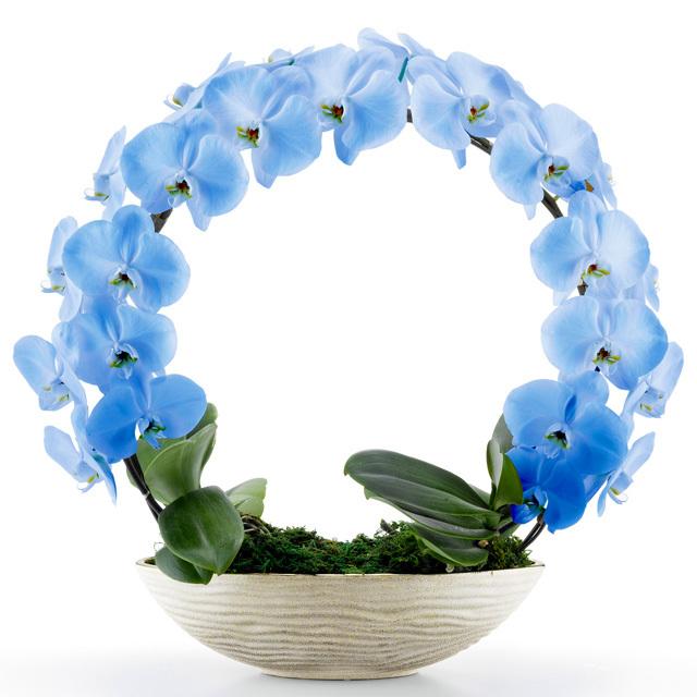 胡蝶蘭 お祝い 2本立ち ブルー 大輪 遊美蘭 リング ギフト