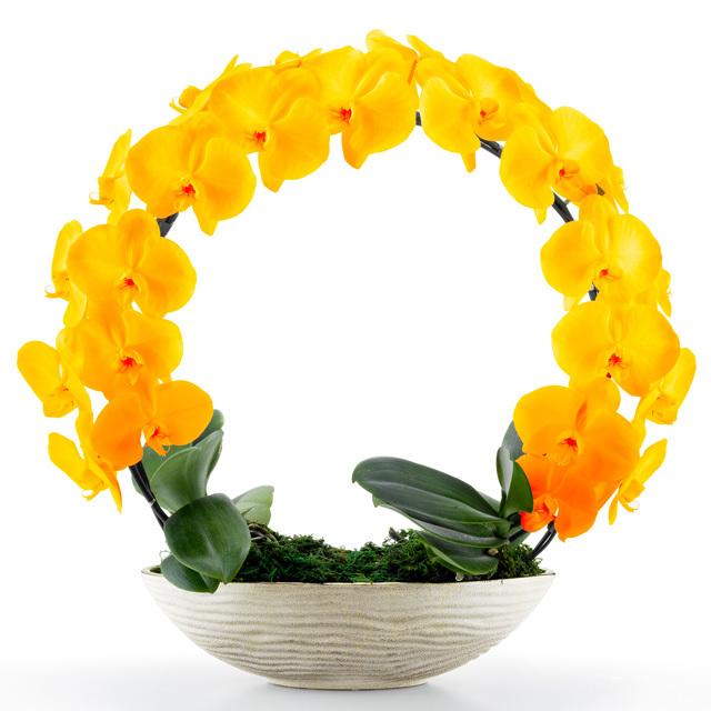 胡蝶蘭 お祝い 2本立ち オレンジ 大輪 遊美蘭 リング ギフト