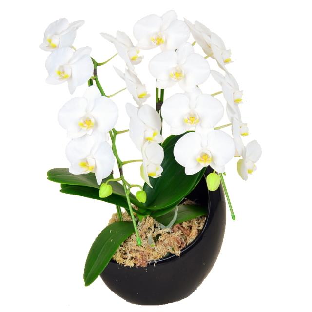 胡蝶蘭 2本立ち 白色 ミディ 三日月 十六夜 和鉢