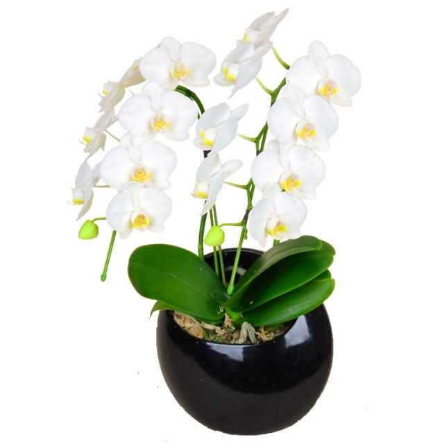 胡蝶蘭 2本立ち 白色 ミディ ムーン 丸鉢 和鉢