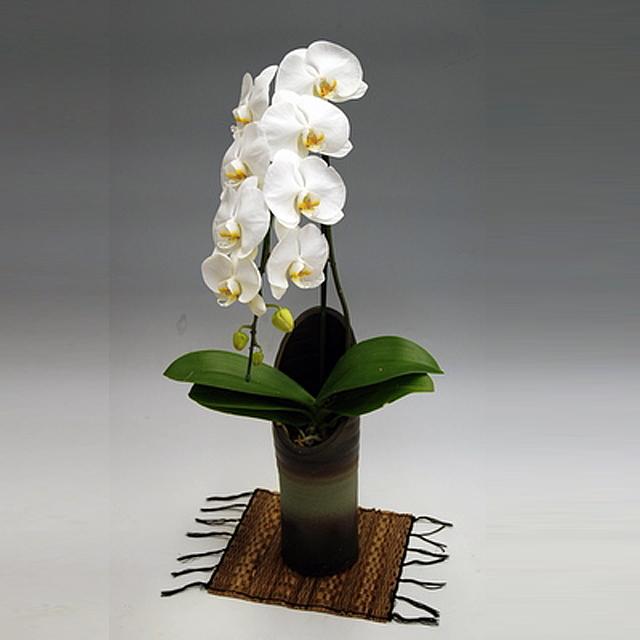 胡蝶蘭 大輪 かぐや姫 1本立ち 白色 和鉢