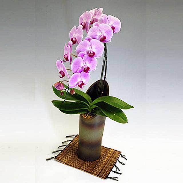 胡蝶蘭 大輪 かぐや姫 1本立ち ピンク色 和鉢