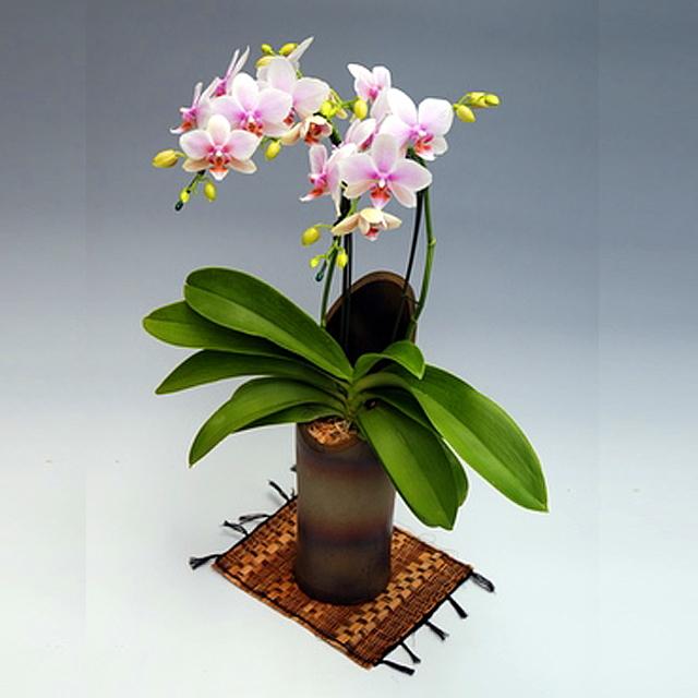 ミディ胡蝶蘭 かぐや姫 2本立ち ハルガスミ 淡いピンク色