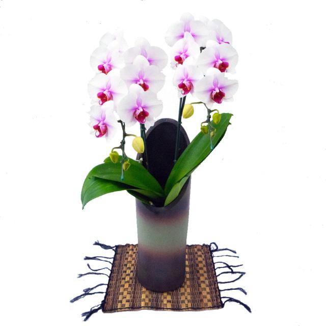 ミディ胡蝶蘭 お祝い かぐや 2本立ち 和鉢 サクラヒメ 紅白 赤リップ