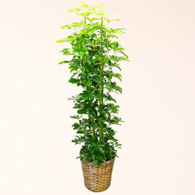 観葉植物 カポック 10号鉢 バスケット付 送料無料