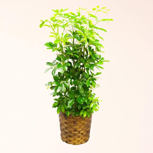 観葉植物 カポック 8号鉢 バスケット付 送料無料