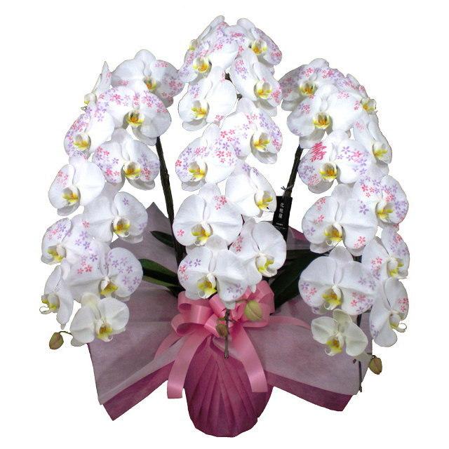 胡蝶蘭 化粧蘭 壽 文字入り 3本立ち 36輪前後 小花 仕立て