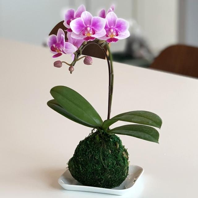 胡蝶蘭 1本立ち ピンク色 苔玉 3号 マイクロ ミニ